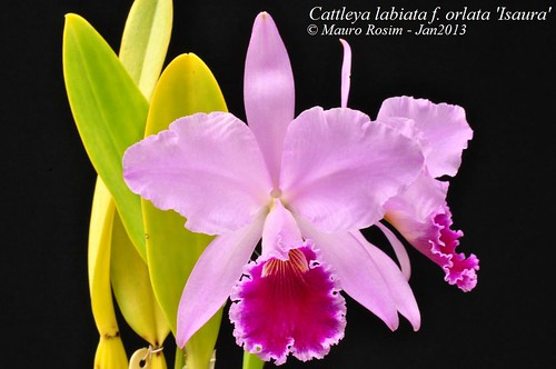 Cattleya labiata f. orlata 'Isaura' by Mauro Rosim