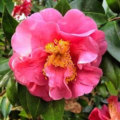 rosa 㗠centifolia(0.0), floribunda(0.0), rosa rubiginosa(0.0), shrub(1.0), camellia sasanqua(1.0), flower(1.0), rosa gallica(1.0), plant(1.0), flora(1.0), camellia japonica(1.0), theaceae(1.0), peony(1.0), petal(1.0),