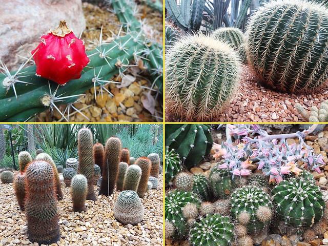 cacti-collage