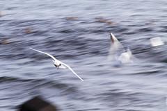 Flight of the Sea Gull! [IMG_2376ks]