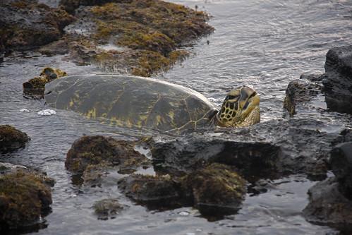 hawaii seaturtle kona islandofhawaii