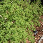Garden Inventory: Ming Fern Asaparagus (Asparagaus retrofractus) - 2