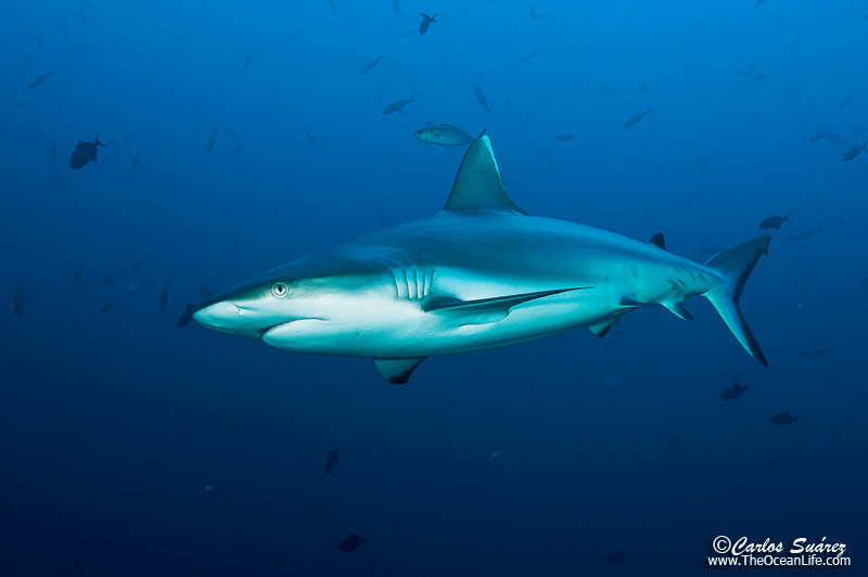 Tiburón en Maldivas