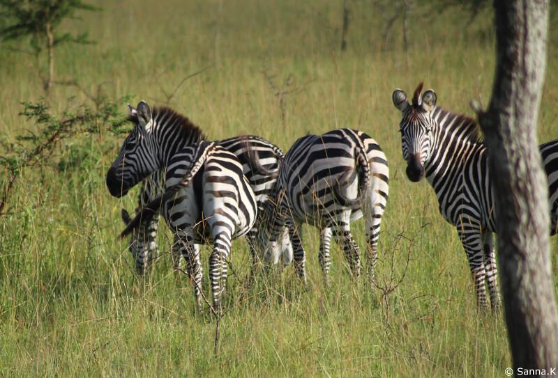zebrat1