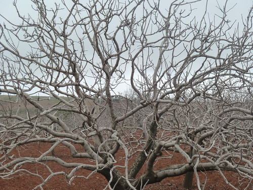 Pistachio tree by mattkrause1969
