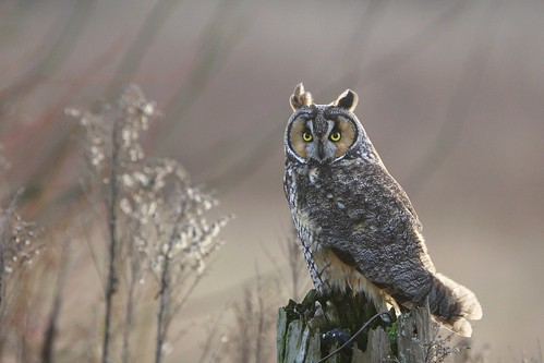 Long-eared Owl by tony y. h. tong