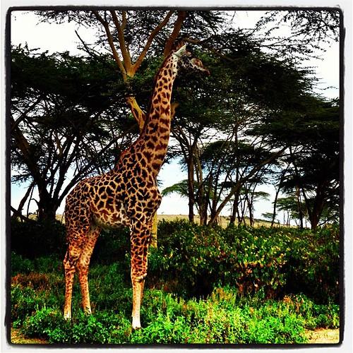 Giraffe @ Crescent Island