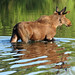 Small photo of Moose (Alces alces), Grand Teton National Park