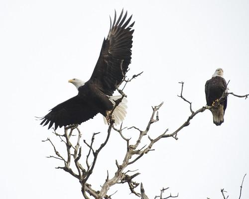 I Wanna Fly Like an Eagle