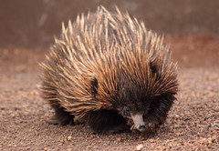 domesticated hedgehog(0.0), erinaceidae(0.0), whiskers(0.0), echidna(1.0), animal(1.0), porcupine(1.0), monotreme(1.0), fauna(1.0), close-up(1.0), wildlife(1.0),