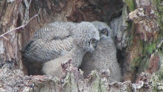 Great Horned Owls, Nisqually NWR, WA 2/14/13 on Flickr