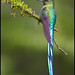 Long-tailed Sylph (Aglaiocercus kingi) by Glenn Bartley - www.glennbartley.com