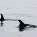 White-beaked Dolphins (Peter Dunn)