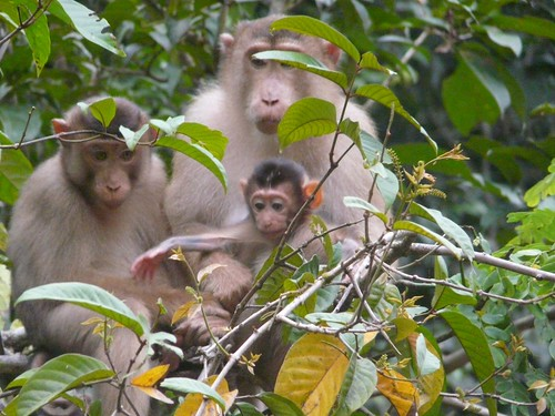 Macaque Monkey Family Portrait