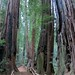 Muir-Woods-2013-03-09