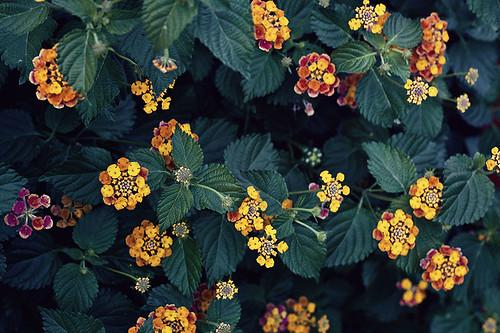 Preciosas flores de mi barrio, podría alguien decirme su nombre? Gracias! - Beautiful flowers over my neighborhood, could someone tell me it's name? Thank you! by Carola Lagomarsino