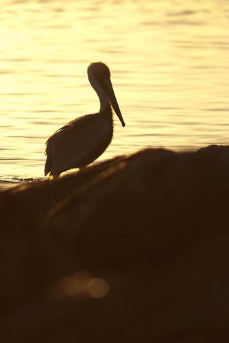 morning lake bird pelicans nature birds animal sunrise scott photography dawn louisiana wildlife neworleans feathers pelican nola pontchartrain mohrman