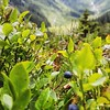 Beautiful nature on our hike up to #Taghorn. #blueberry #myswitzerland by @pgart