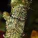 Woodland Gem - Merveille du Jour (Griposia aprilina) by gcampbellphoto
