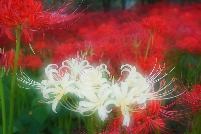 Flower Nature Red Spider Lily Cluster Amaryllis Flowers Multiple Exposures at 巾着田