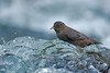 american dipper on the smith river