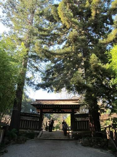 Hakone Japanese Gardens, Saratoga, CA, tree IMG_2290