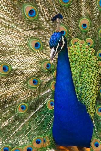 Oregon_zoo_peacock_male by Debito66