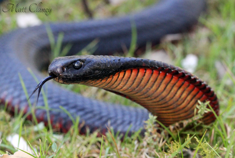 Red-Bellied Black Snake (Pseudechis porphyriacus) by Matt Clancy Wildlife Photography, on Flickr
