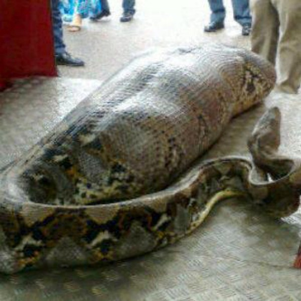 Snake Eat Human O Kelapagading Wild Indonesianews