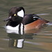 Hooded Merganser - Male by Juggler Jim