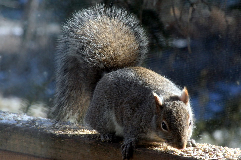 Gray Squirrel_8166