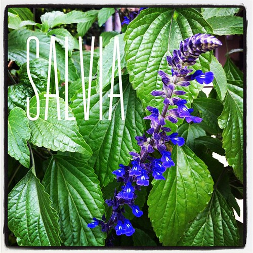 Garden Alphabet: Salvia for A Gardener's Notebook (http://DouglasEWelch.com/agn/)