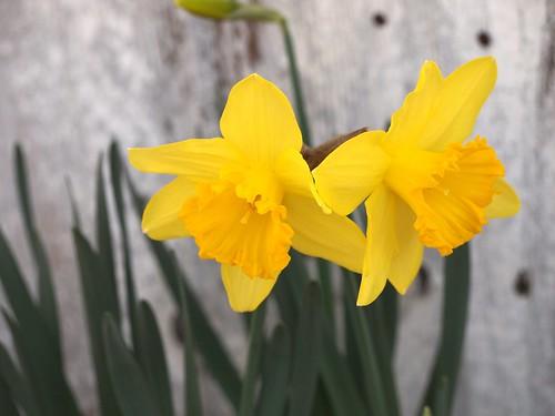 First Daffodils 2013 - 2