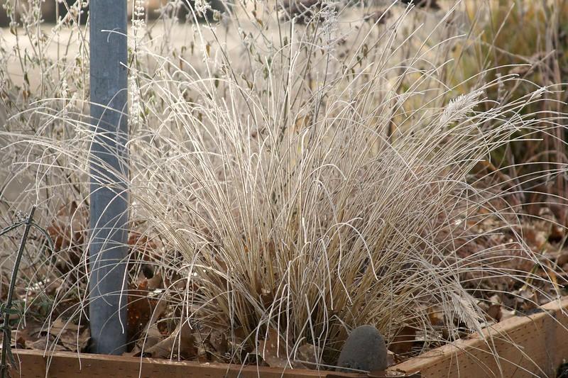 pennisetum desert plains  3221