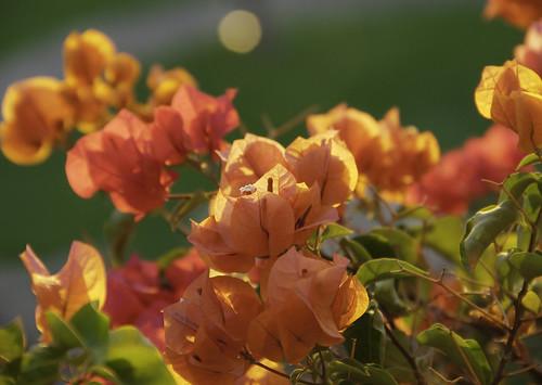 Bougainvillea in sunset light