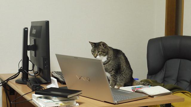 モニターをのぞき込むネコ
