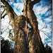Small photo of Crone tree