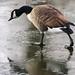 Skating Goose