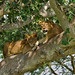 Tree-climbing Lions, Ishasha Plains (Ian and Kate Bruce)