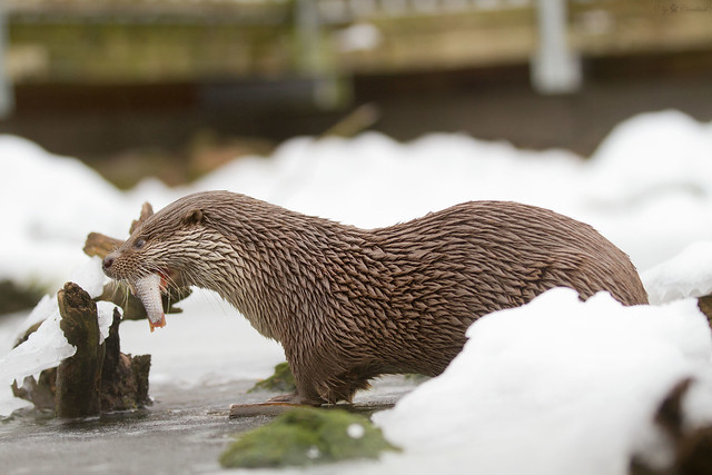 Otter on ice flickr photo sharing for Otter ice fishing