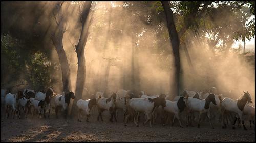 trees sun animal animals sunrise nikon asia southeastasia farmers farm burma ngc goat explore goats myanmar rays agriculture dust herd pagan bagan explored afs24120mmf4gedvr mandalayregion d800e