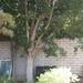 Garden Inventory: Ficus benjamina - 8