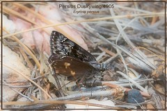 Persius Duskywing Grand Canyon National Park Arizona butterfly photography by Ron Birrell, GC DSC_4905