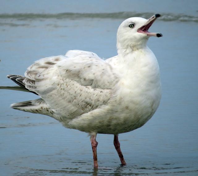 Nelson's Gull