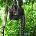Primates Pithecia monachus_01_