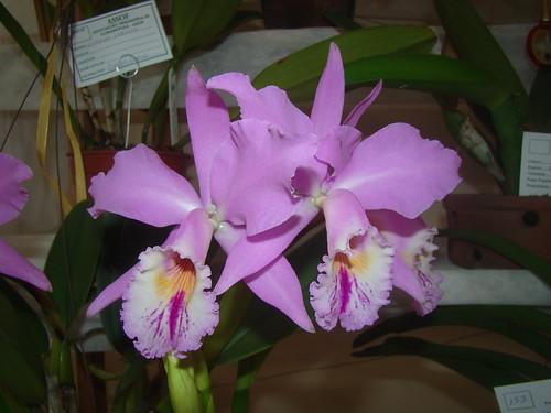 C. Labiata