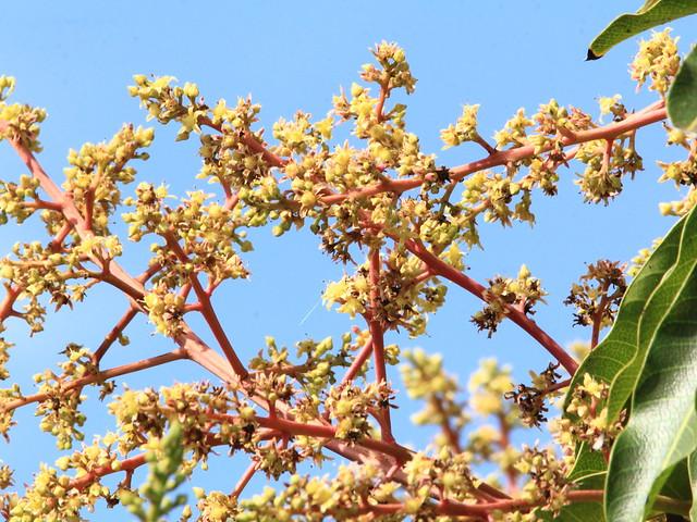 Mango blossoms 20130320