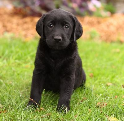 Cute Black Lab Puppies For Free Adoption 4c3f0fbd31ff1d27d Flickr