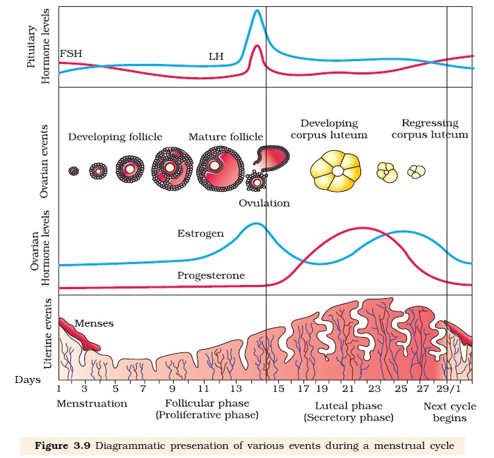 Ncert class xii biology chapter 3 human reproduction aglasem schools ccuart Image collections