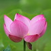 lotus by * Yumi *